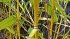 Bamboo Aurea