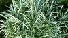 Bamboo Pleioblastus