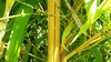Bamboo Vivax