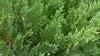 Leylandii Verde