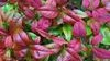 Nandina Fire Power