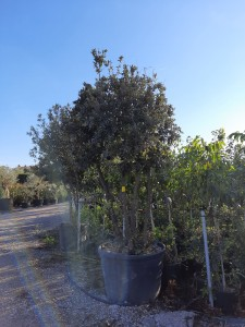 Quercus Ilex Mushroom